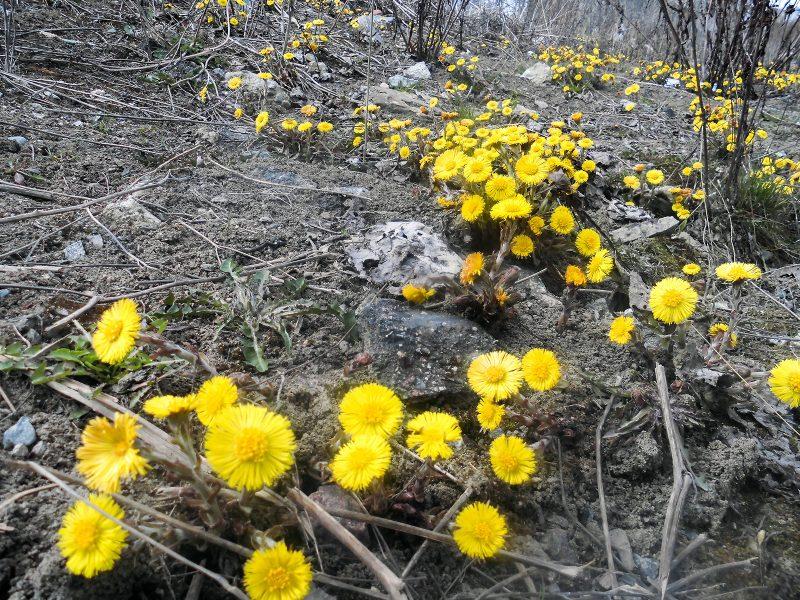 Den här blomman har två namn som båda betyder att man använder den mot hosta.