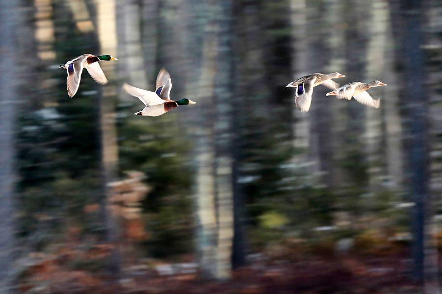 Foto: Robert F Bukaty/AP/TT | Naturreservatet i Maine där de här änderna lever är uppkallat efter Rachel Carson.