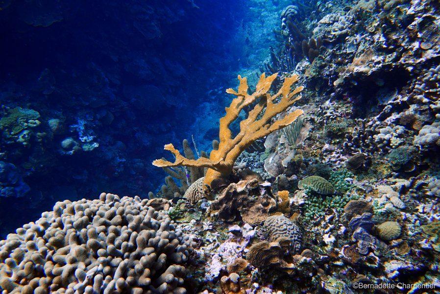 Foto: Bernadette Charpentier | Elkhornkorall återhämtar sig i ett marint skyddsområde på Jamaica.