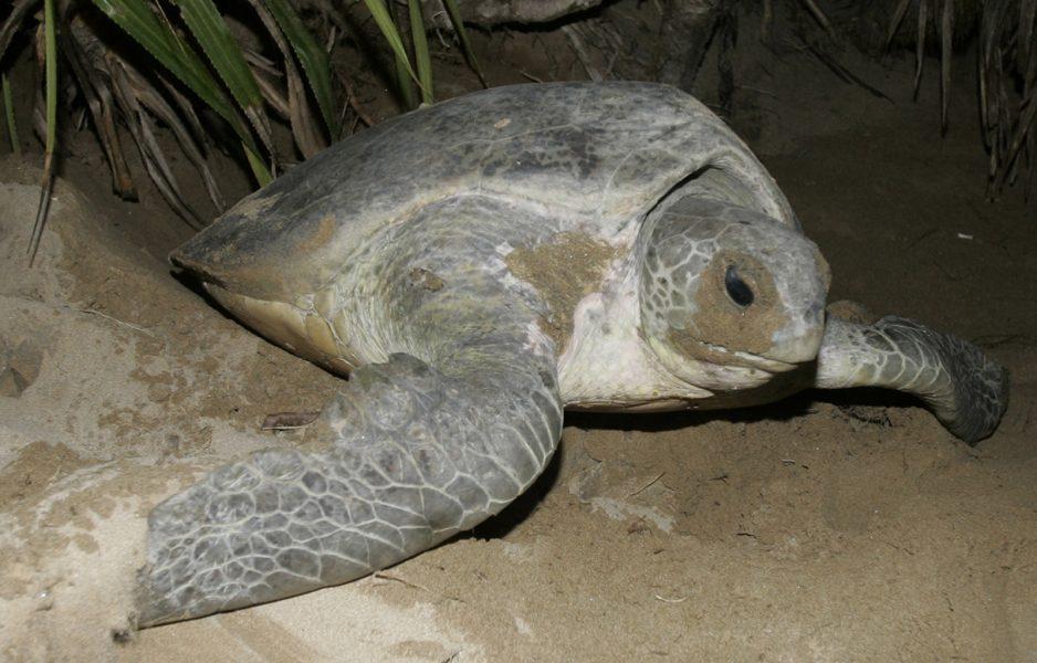 TT/AP | Hona av grön havssköldpadda som just lagt sina ägg och är på väg tillbaka till havet.