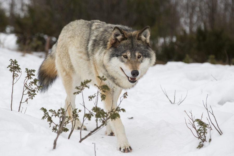 Heiko Junge/NTB Scanpix | En varg med viktiga gener befinner sig i Västra Götaland.