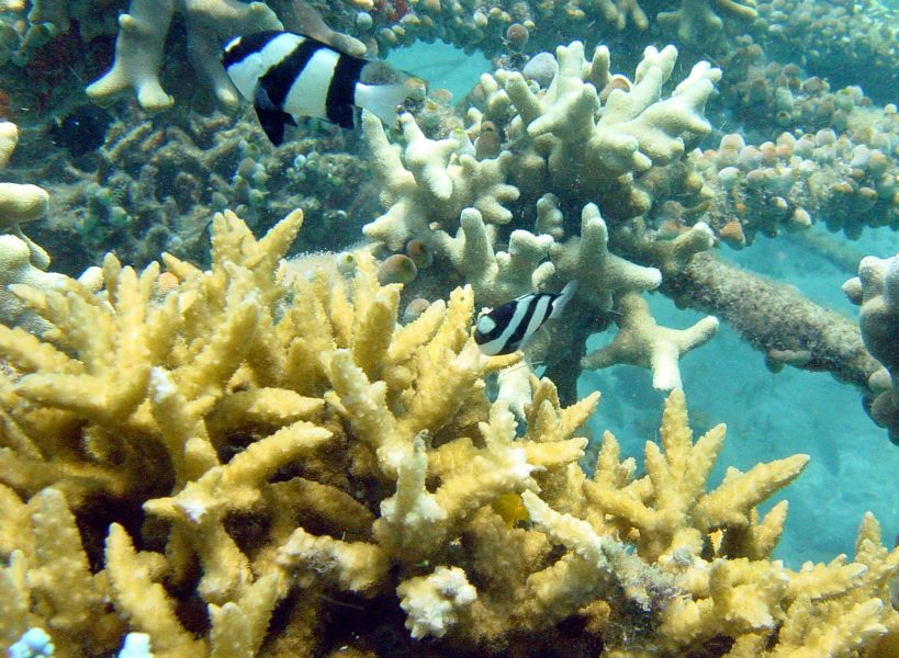 Wolf Hilbertz/AP/TT | Forskare har gjort positiva upptäckter för korallreven.