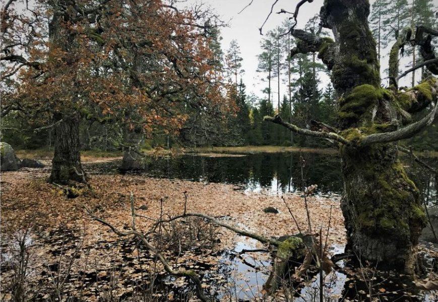 Lena Gustafsson  Nyckelbiotop med gamla ekar som omger en vattensamling (glup) som torkar ut på sommaren.