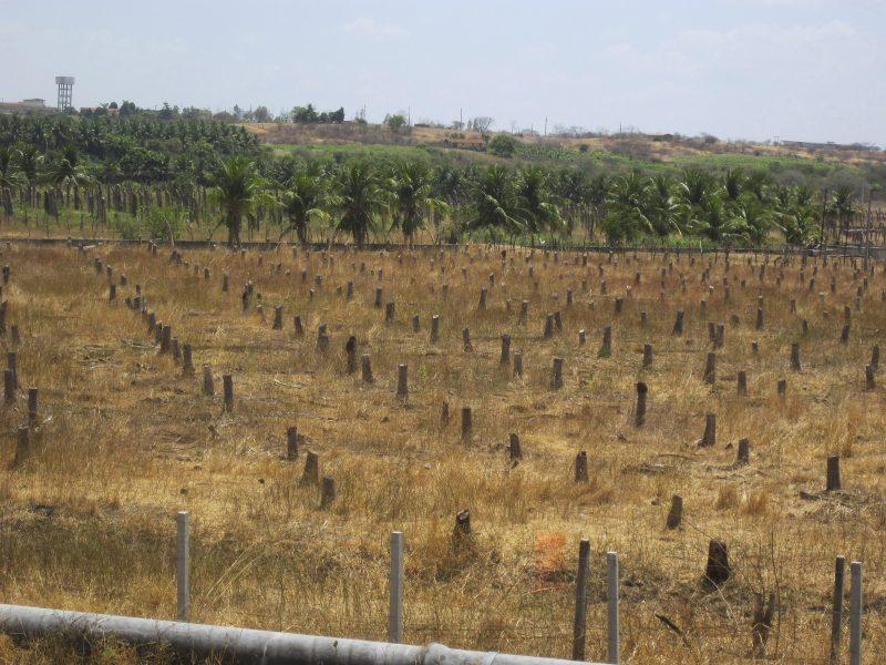 Mario Osava/IPS |Endast stubbarna återstår av den odling av kokospalmer som tidigare stod här i São Gonçalo, i kommunen Sousa i nordöstra Brasilien.
