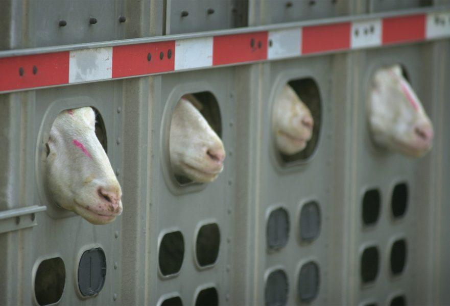 Långa tranporter är ett av flera problem med djurens välfärd i EU, skriver Lena Meigård, medlem i Djurens rätt.