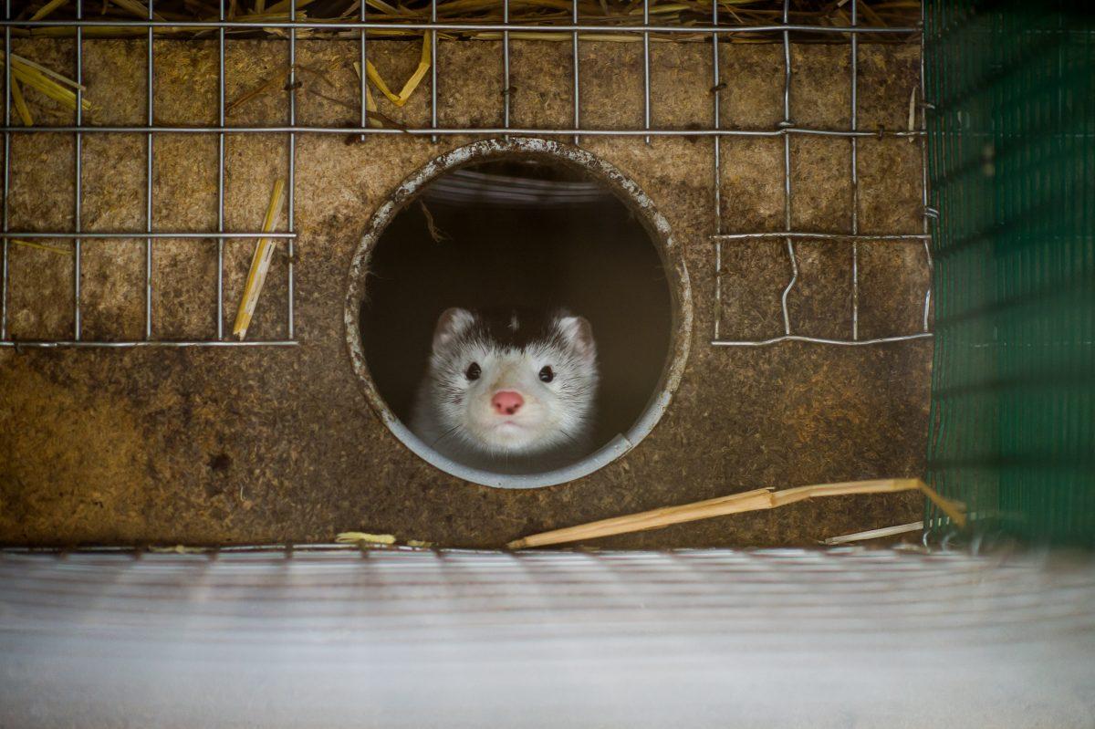 Hamster kön rör