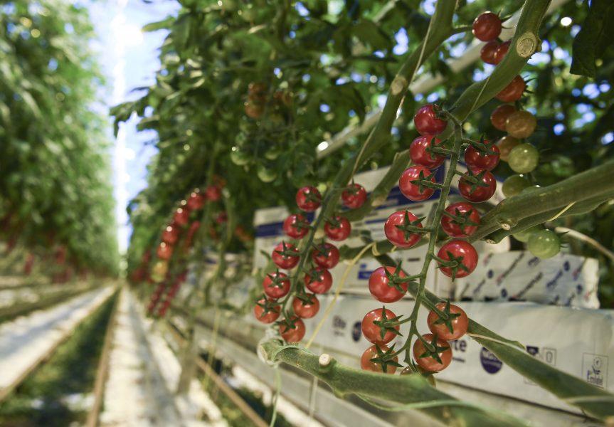 Tomatodling i växthus är en av de grödor där neonikotinoiden imidakloprid fortfarande är tillåten att använda.