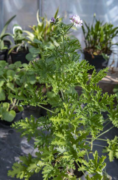 Rosengeranium blommar sällan inomhus, men odlas mest för doften och för att den är väldigt lättskött.