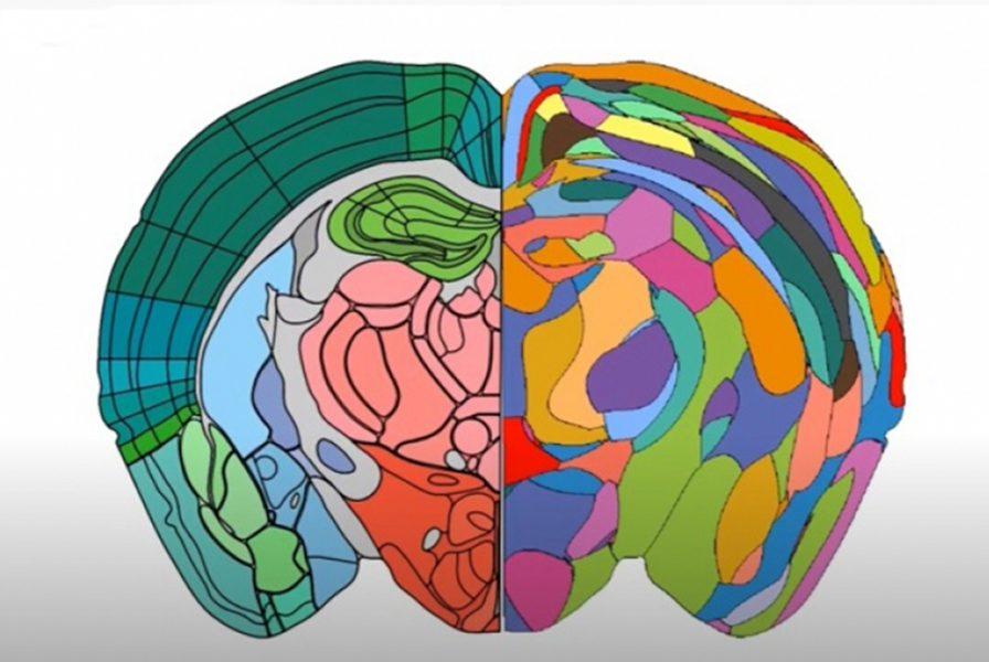 Forskare vid KTH och Karolinska institutet har kartlagt mushjärnan med hjälp av en molekylär metod.