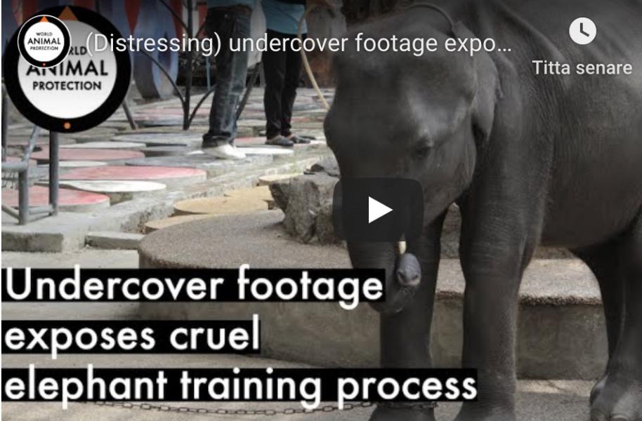 Grymma metoder används för att träna elefanter till underkastelse.