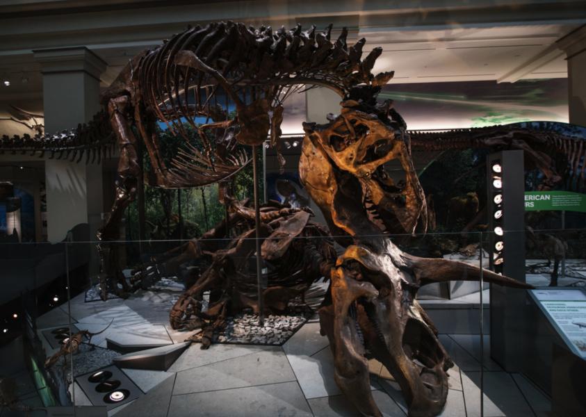 En Triceratops, en släkting till Centrosaurus, angrips av en Tyrannosaurus rex i en utställning på Smithsonian i Washington DC, USA.