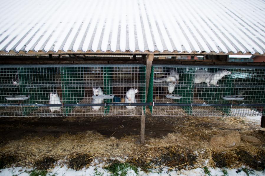 En minkfarm i Blekinge hotas med vite.