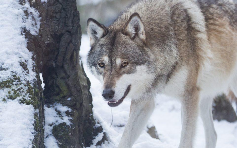 """""""Att skydda den vargstam som lever i Sverige är vårt lands ansvar! Förutom artskyddsförordningen har Sverige också skrivit under FN:s konvention om biologisk mångfald som inkluderar skydd av våra rovdjur."""