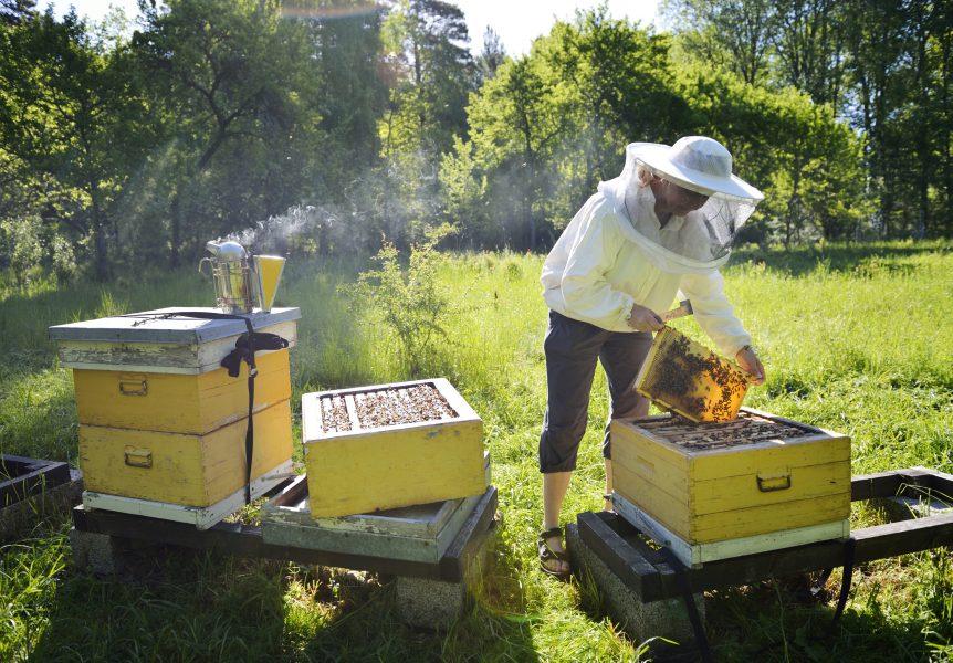 Om bina är ilskna kan biodlaren bränna lite torrt trä.