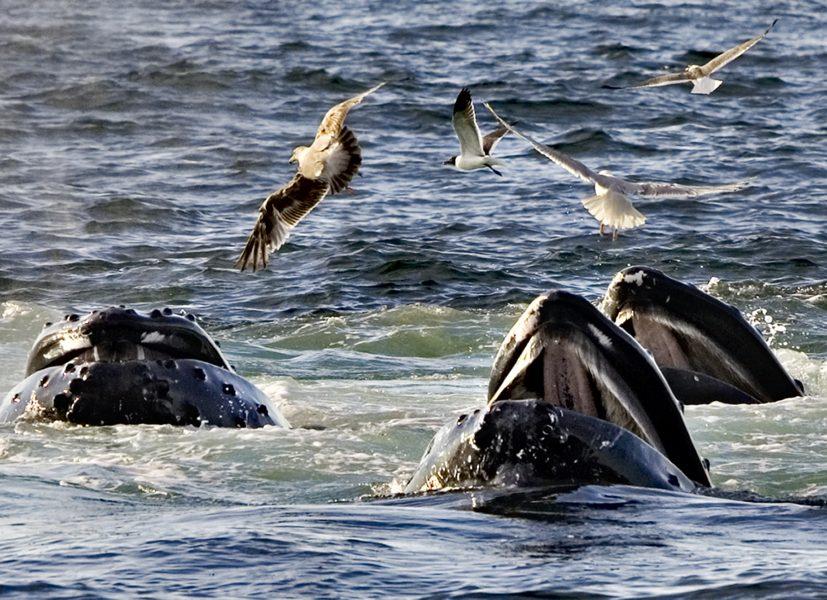 Knölvalar som hjälps åt när de jagar.
