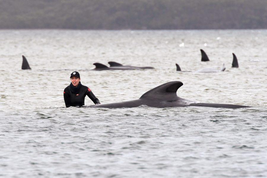 En av räddningsarbetarna vid en av de strandade valarna på Tasmaniens västkust.