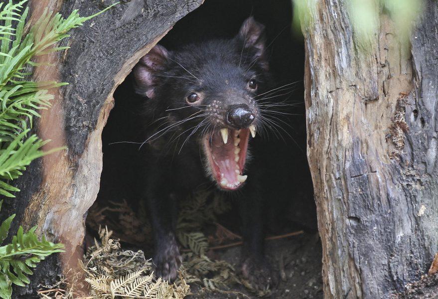 En tasmansk djävul på ett zoo i Sydney.