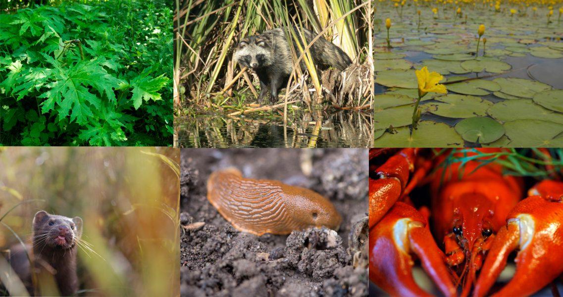 Jätteloka, mårdhund, sjögull, mink, mördarsnigel och signalkräfta är alla invasiva arter som ses som ett av de största hoten mot den biologiska mångfalden.