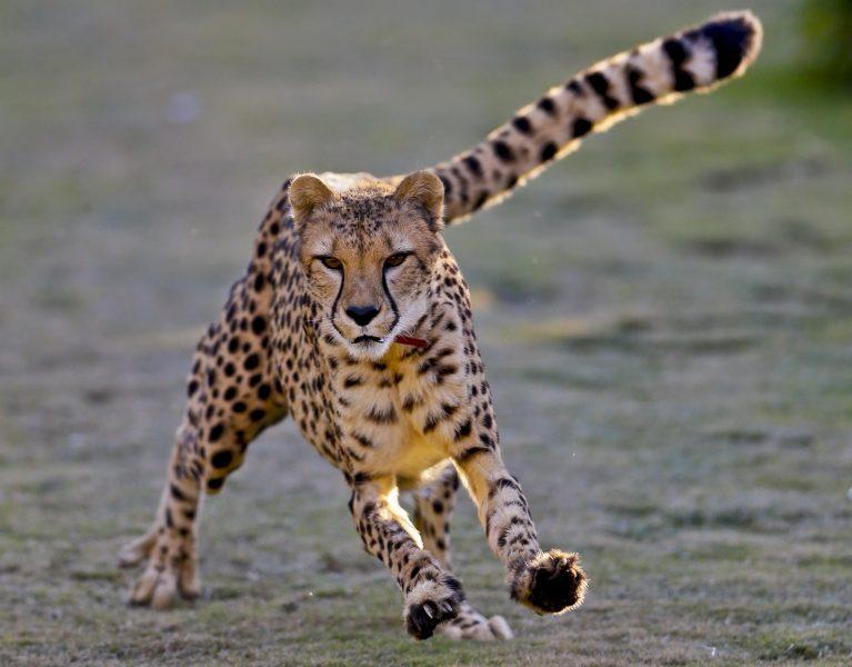 Geparder hotas av människan - men det finns hopp.