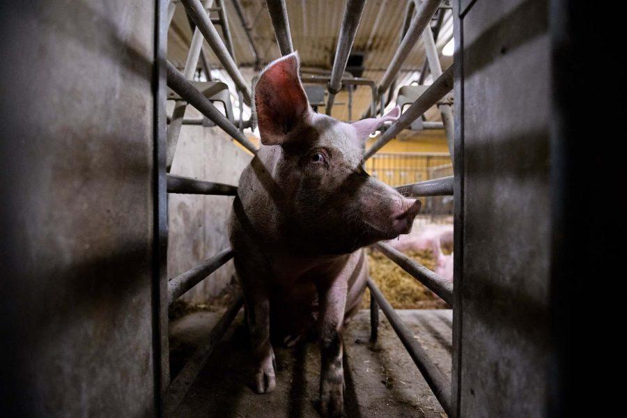 En gris hemma på sin gård.