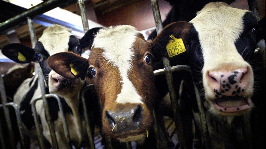"""""""Och påståendet att vi är det mest utvecklade djuret, vilket ger oss rätt att utnyttja andra djur, är också fruktansvärt."""