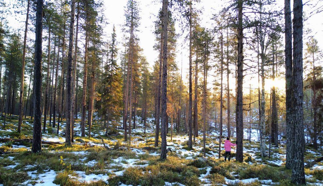 En del av den gammelskog som Sveaskog nu vill avverka.