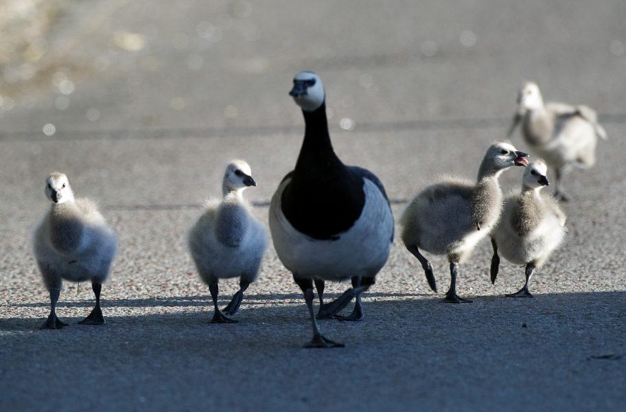En vitkindad gås har smittats av fågelinfluensa av typen H5N8.