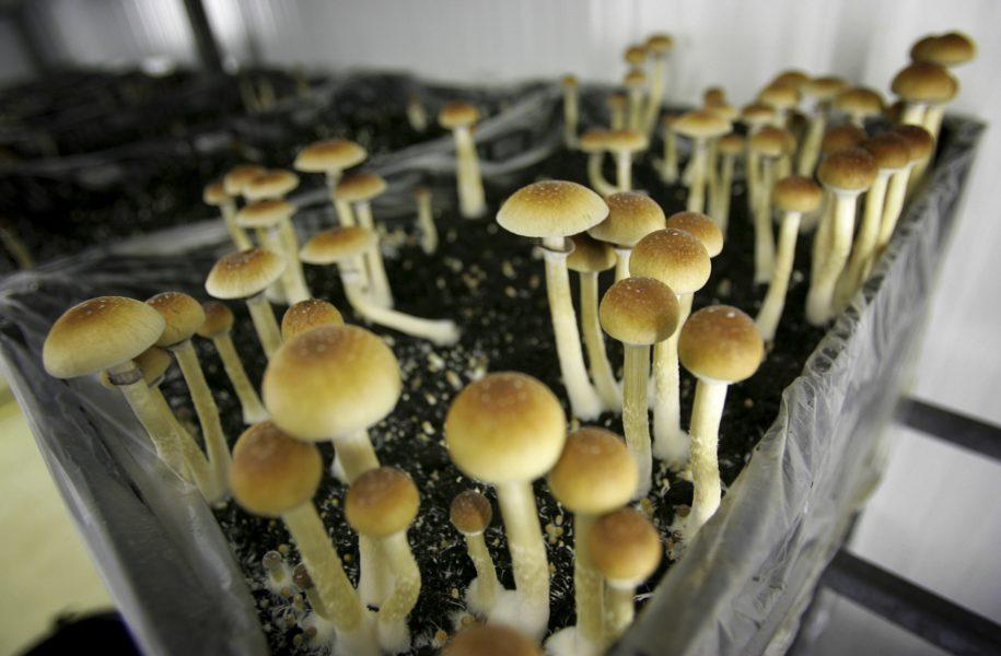 Psilocybin, ett psykoaktivt ämne som förekommer i vissa svampar, testas nu för första gången i Sverige i en studie som ska undersöka substansens effekt på depression.
