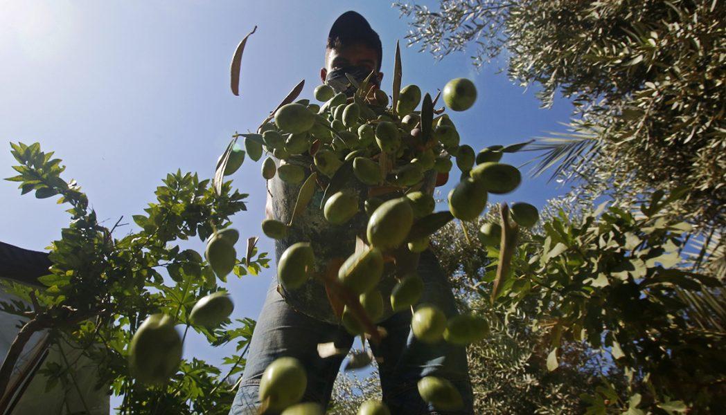 Dags att skörda oliverna.