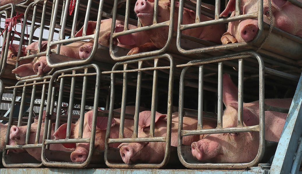 Grisar på väg till slakt i Kambodja.