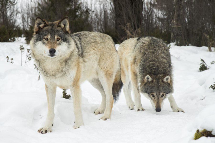 Naturvårdsverkets beslut från 2019 om miniminivåer för varg ligger fast.