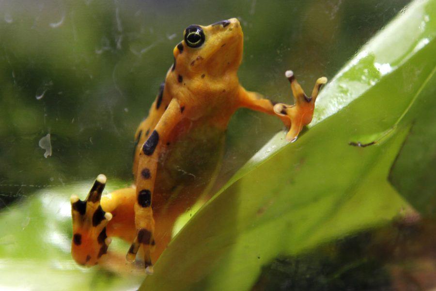 Grodor hör till de arter som blivit hårt drabbade av alltifrån invasiva arter, habitatförlust till miljögifter.