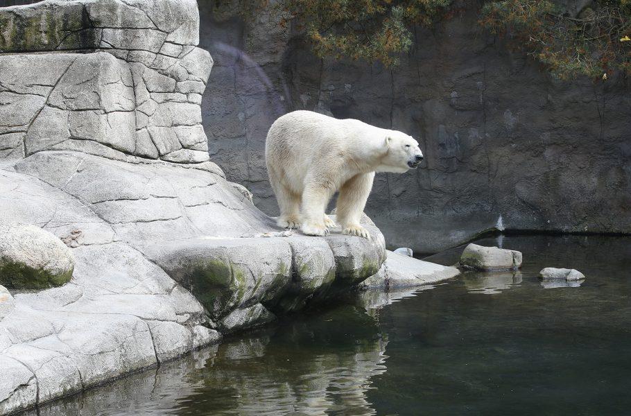 Var hör isbjörnen hemma? I den fria eller som på bilden i en djurpark? Det tål att tänkas på den 27 februari då det är Internationella isbjörnsdagen.