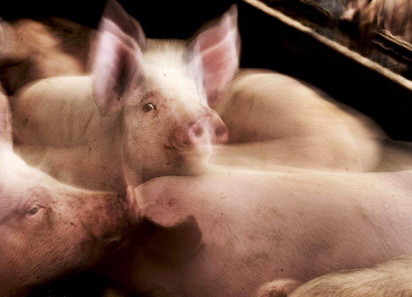 En 50-årig man misstänks ha stängt in ett 80-tal grisar som han sedan låtit svälta ihjäl.