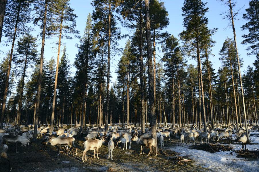 Området kring Muonio sameby i östra Norrbotten omges av några av Sveriges sista naturskogar.