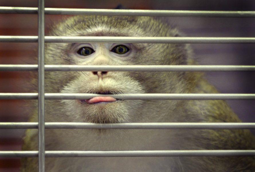 En apa som används i djurförsök tittar ut med läpparna om gallret på på Smittskyddsinstitutets aphus i Solna år 2000.