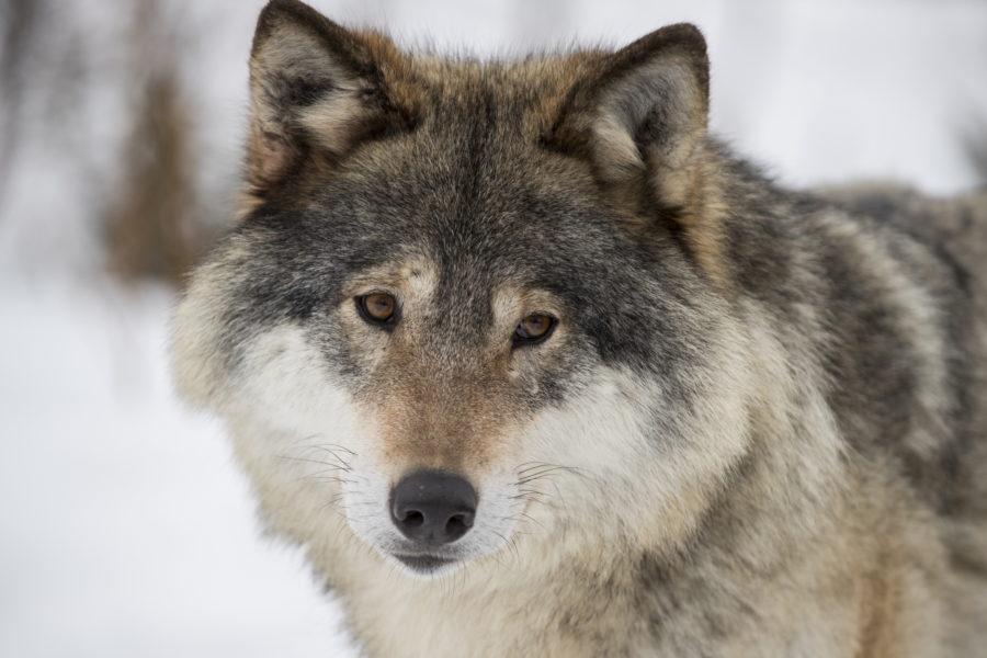 Fler svenskar vill att vargen ska leva i hela Sverige och inte enbart i vissa delar, visar en ny undersökning från SLU.