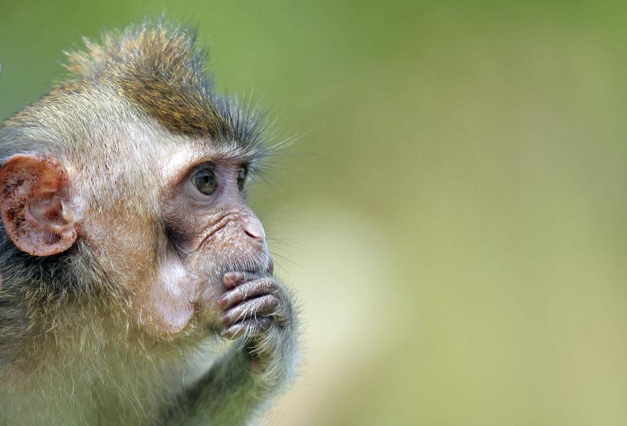 Makaker har räddats undan smugglare i Thailand – apan på bilden har dock inte med smugglingen att göra.