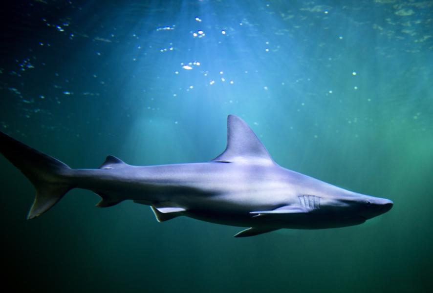Hajar som vandrar långa sträckor använder sig av jordens magnetfält för att hitta rätt, visar forskning.