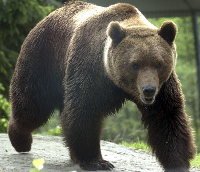 Blynivåerna i svenska björnar tyder på omfattande problem i skogen.
