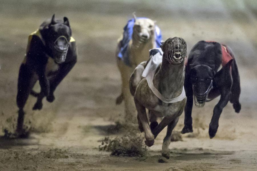 Varje år dör eller dödas tusentals hundar som tävlar i så kallade hundkapplöpningar.