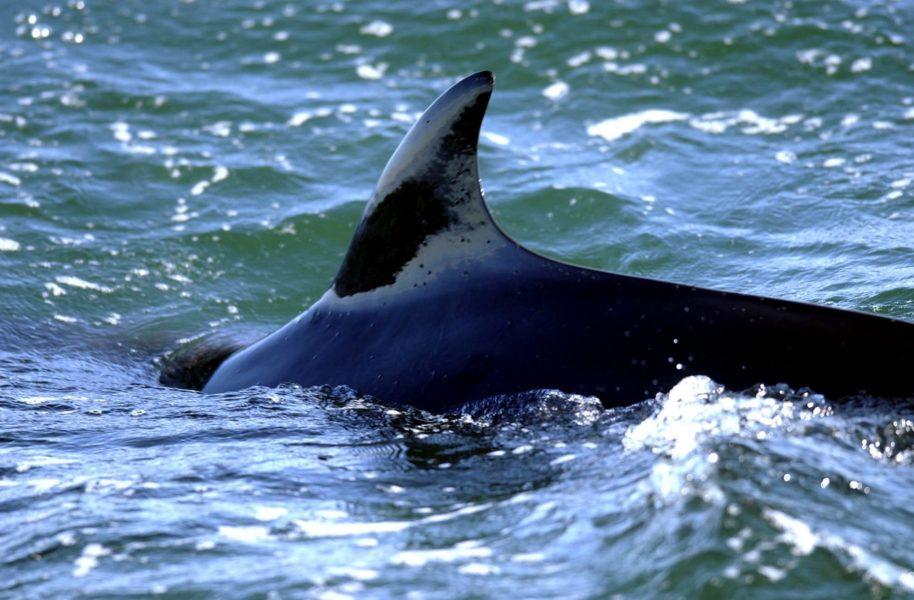 Vikvalar som simmar längs med Norges kust ska fångas in och bli föremål för ett ljudexperiment.