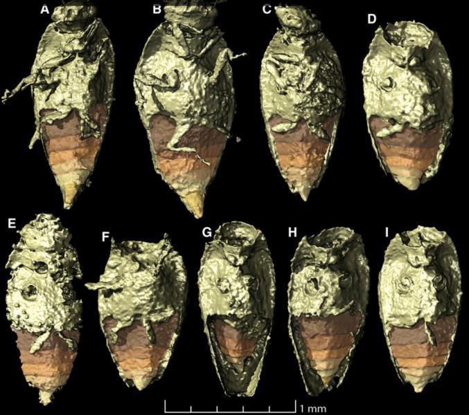 Åtta välbevarade skalbaggar som fanns inuti koproliten som studerades, här i 3D-rendering.