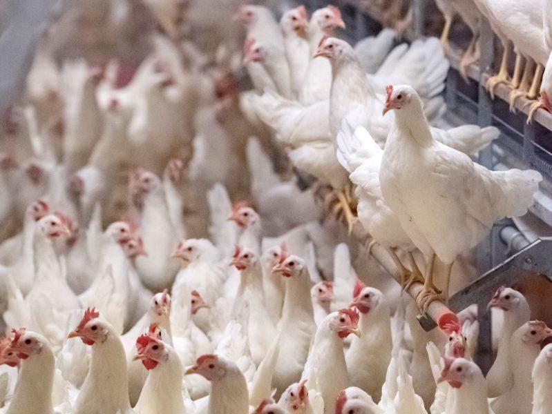 Värphönorna är avlade till att värpa ett ägg om dagen vilket de gör ända tills de bedöms som uttjänta.
