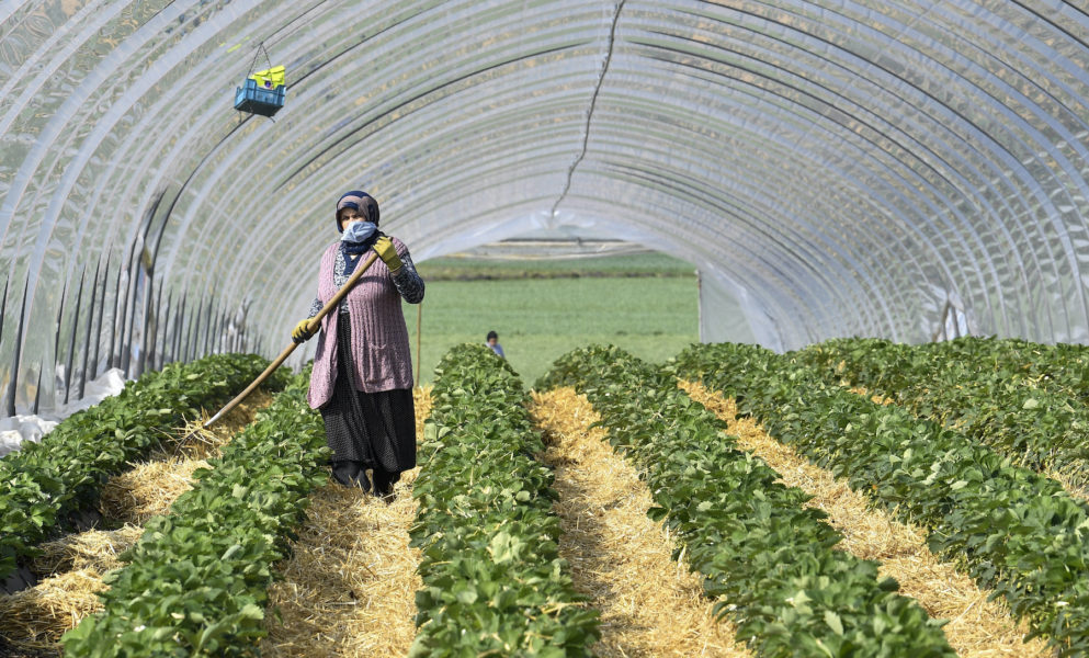 Ett jordgubbsplantage i Tyskland 2020.
