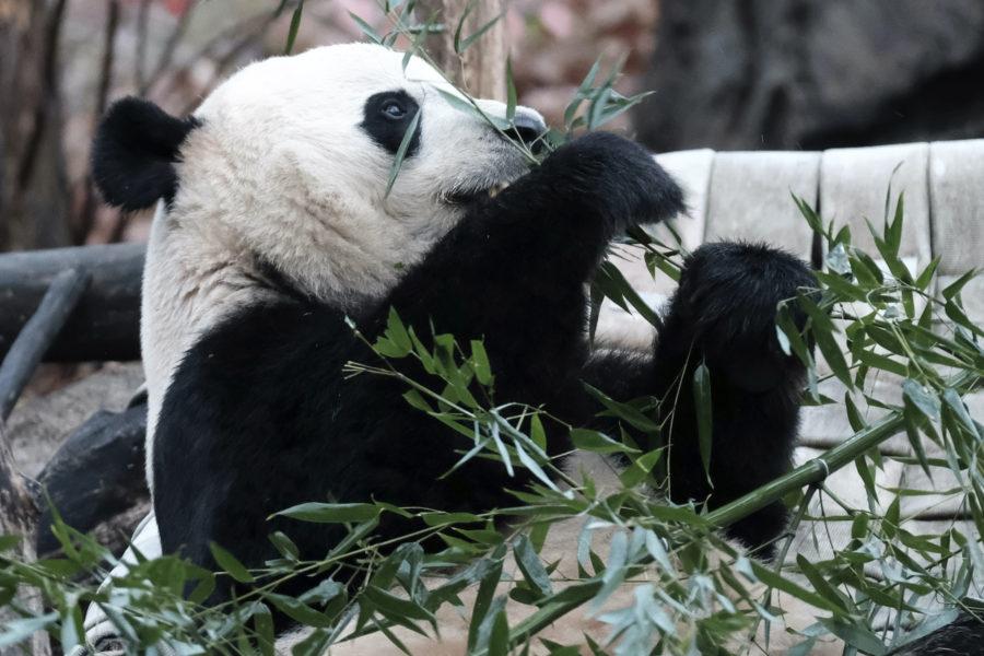 Jättepanda ätandes bambu.