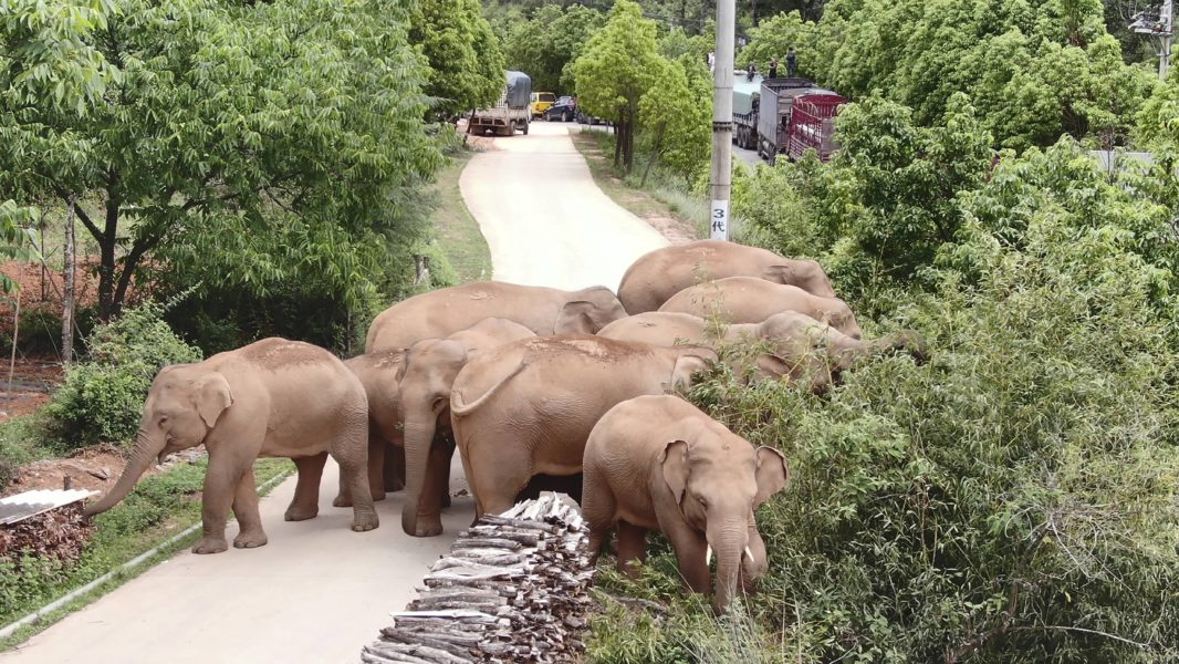 Kinas vandrande elefantflock har blivit superstjärnor på sociala medier.