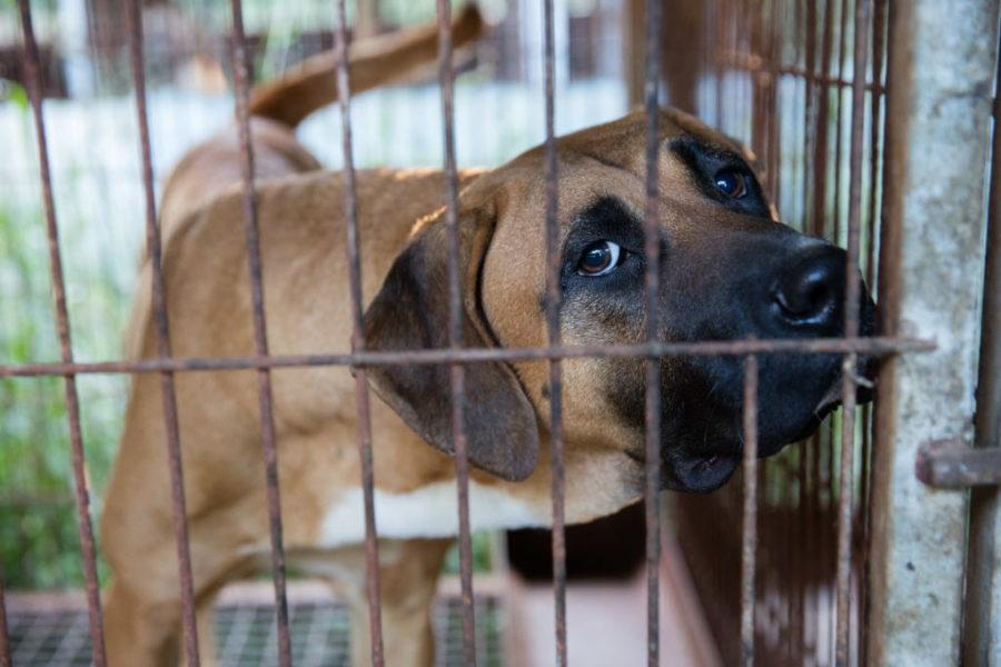 En mastiff väntar på att bli räddad från en hundfarm i Chungcheongnamdo, Sydkorea, den 15 september 2015.