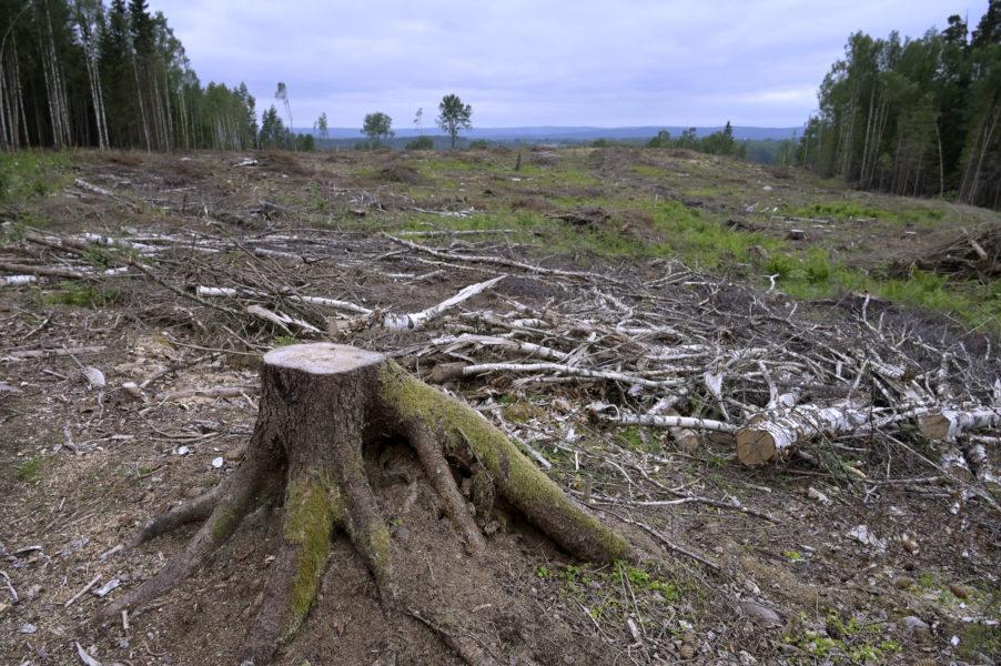 Den svenska metoden med trakthyggesbruk där nästan alla träd i ett område avverkas är kritiserad för att orsaka stora skador.