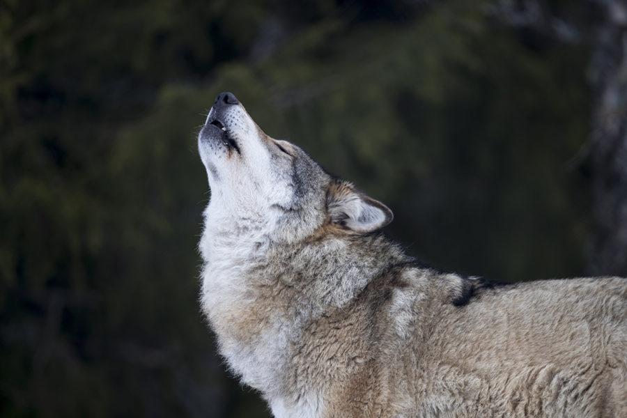 Över 30 vargar får skjutas i vinter.